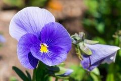 Frühlings-Blumenanlage der purpurroten Viola dreifarbige im Park stockfoto