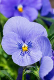 Frühlings-Blumenanlage der purpurroten Viola dreifarbige im Park lizenzfreies stockfoto