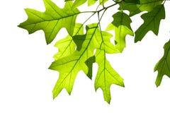 Frühlings-Eichen-Blätter auf der Niederlassung lokalisiert auf Weiß Lizenzfreies Stockfoto