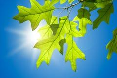 Frühlings-Eichen-Blätter auf Niederlassung gegen blauen Himmel Lizenzfreie Stockbilder