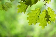 Frühlings-Eichen-Blätter auf Niederlassung gegen grüne Überdachung Stockfotos