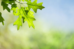 Frühlings-Eichen-Blätter auf Niederlassung gegen grünen Forest Canopy Stockfotos