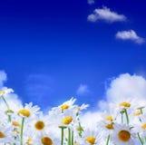 Frühlings-Feld der Gänseblümchen und des Hintergrundes des blauen Himmels Stockfotos