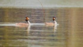 Frühlings-Fluss, der Duck Prophet plombiert stockfoto