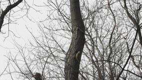 Frühlings-Forest Female-Specht, der eine Höhle in einem Baumstamm macht Bäume ohne Blätter stock footage