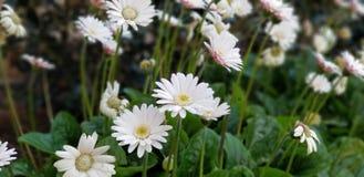 Frühlings-Gänseblümchen - Gerbera-Weiß mit Rosa errötet lizenzfreie stockfotografie