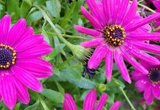 Frühlings-Gänseblümchen - Osteospermum zwei Tone African Daisies lizenzfreie stockfotografie