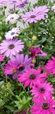 Frühlings-Gänseblümchen - Osteospermum zwei Tone African Daisies lizenzfreies stockfoto