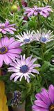 Frühlings-Gänseblümchen - Osteospermum zwei Tone African Daisies stockfotos