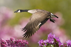 Frühlings-Gans im Flug mit Holzapfel Lizenzfreies Stockfoto