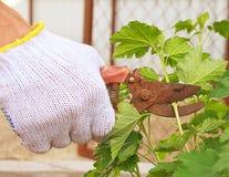 Frühlings-Gartenarbeit mit Baumschere Stockbild