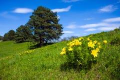 Frühlings-Gelbblumen des Adonisröschen schöne auf Hügel Lizenzfreies Stockfoto
