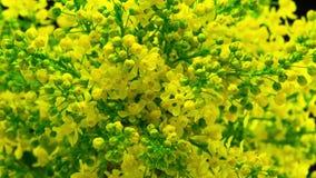Frühlings-gelbe Blumen-Blüte auf Bush stock video