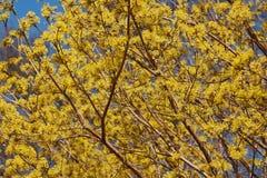 Frühlings-Glühen-Kornelkirschehartriegel in der Blüte Lizenzfreie Stockbilder