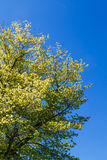 Frühlings-grüner Baum unter blauem Himmel Lizenzfreie Stockbilder