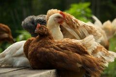 Frühlings-Hühner stockfotografie
