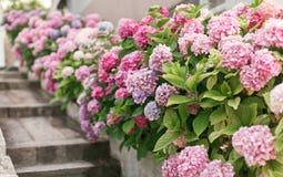 Frühlings-Hortensie im Garten Stockbild