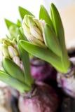 Frühlings-Hyazinthen stockfotografie