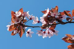 Frühlings-Kirschblüten, rosa Blumen Lizenzfreie Stockfotografie