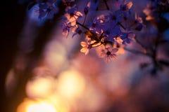Frühlings-Kirschblüten, rosa Blumen stockfoto