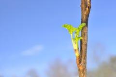 Frühlings-Knospen Stockfotografie