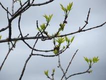 Frühlings-Knospen stockbilder