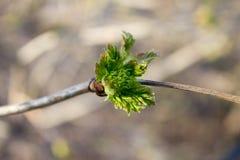 Frühlings-Knospen Stockfoto