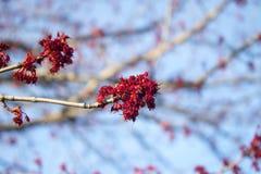 Frühlings-Knospen Lizenzfreie Stockbilder
