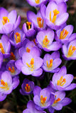 Frühlings-Krokus Stockfotos