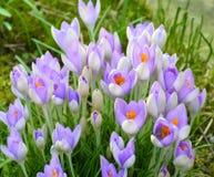 Frühlings-Krokus Stockbilder