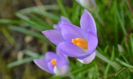 Frühlings-Krokus Lizenzfreies Stockbild