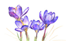 Frühlings-Krokus-Blumen auf weißem Hintergrund stockfotos