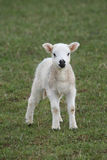 Frühlings-Lamm Stockbild