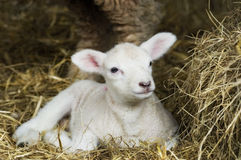Frühlings-Lamm Stockfotografie