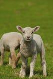Frühlings-Lamm Lizenzfreie Stockfotografie