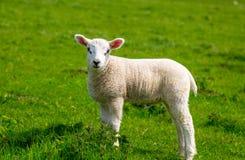 Frühlings-Lamm Lizenzfreie Stockfotos