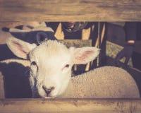 Frühlings-Lamm, das wartet, um Zufuhr zu sein Lizenzfreies Stockbild