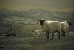 Frühlings-Lamm in der Landschaft Stockfoto