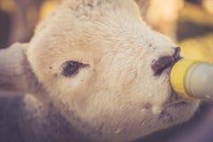 Frühlings-Lamm-Fütterung Stockfoto