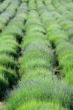Frühlings-Lavendelfeld Lizenzfreie Stockbilder