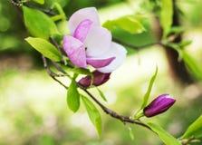 Frühlings-Magnolienblumen Lizenzfreies Stockbild