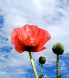 Frühlings-Mohnblume Stockfotos