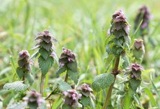 Frühlings-Morgen-Tau-Hintergrund-frische grüne rosa Nessel-Blume lizenzfreie stockfotografie