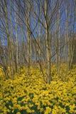 Frühlings-Narzissen Stockfoto