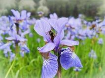 Frühlings- oder Sommeririsblume und -biene Biene auf einer blauen purpurroten Blume stockbild