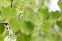 Frühlings-Pappel-Baum-Hintergrund Stockfotos