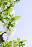 Frühlings-Pflaume oder Kirschblätter und -blüte Lizenzfreies Stockbild