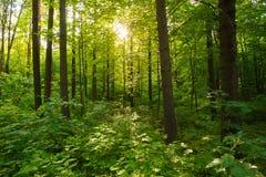 Frühlings-Sommer Sun, der durch Überdachung von hohen grünen Bäumen scheint, flehen an Stockfotos