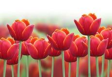 Frühlings-Tulpe-Blumen-Hintergrund Lizenzfreies Stockfoto