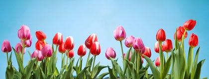 Frühlings-Tulpen Stockbild